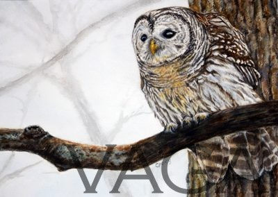Chris Perry - Barred Owl II
